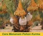 Cara Menanam Pohon Kurma di Indonesia