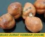 Jual Buah Zuriat untuk Ikhtiar Hamil