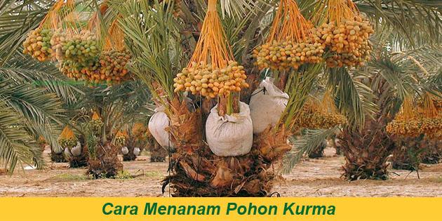 cara menanam pohon kurma